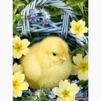 Реализация суточных и подрощенных цыплят бройлеров