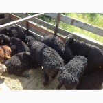 Овцы бараны на мясо и разведение. Мытищи, Москва