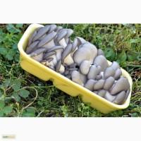 Продаю свежесрезанные грибы вешенки оптом и в розницу