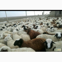 Продаем овец живым весом от 55 до 65 кг