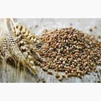 Семена пшеницы яровой Йолдыз