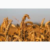 Семена озимых культур пшеница ЭС/РС1