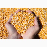 Кукуруза фуражная любые объёмы (регионы РФ)