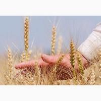 Элита зерновых (пшеница, ячмень и др0