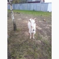 Продам козочек, Цена за 1 козу, Возможен торг
