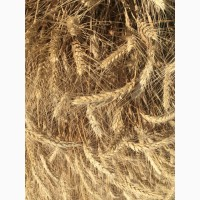 Семена озимой пшеницы сорт Лига 1 ЭС/РС1/РС2