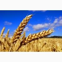 Новинки семян озимой пшеницы Еланчик, Тимирязевка 150, Собербаш