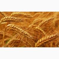 Пшеница 3/4/5 класс