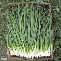 Зеленый лук (перо)