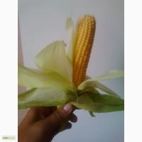 Семена супер сладкой (сахарной) кукурузы Ноа F1. Упаковка 5000 семян