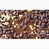 Пчеломатка Карника Тройзек 1075 F-1