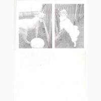 Продаем двух козлов 5 месяцев