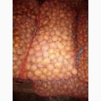 Семенной картофель Джувел