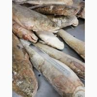 Продам свежемороженую рыбу: Налим глазированный - 60 тонн