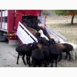 Скотовоз.Перевозка скота