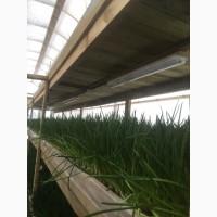 Выращиваем и продаем зеленый лук-перо