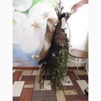 Продам козлят англо-нубийской породы