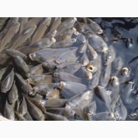 Продам живую рыбу малек карпа амура щуку