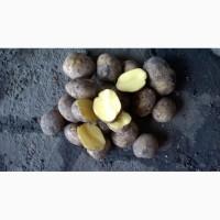 Картофель Продовольственный и Семенной