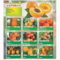 Саженцы абрикосов 1 класс из Сербии