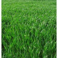 ООО НПП Зарайские семена продает семена райграса однолетнего оптом и в розницу
