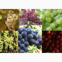 Виноград разных сортов. Опт продажа