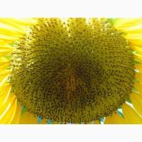 Семена подсолнечника сорт СПК