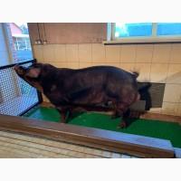 Продам чистокровных свинок породы ДЮРОК