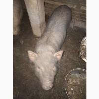 Продам свиноматок и поросят минипига