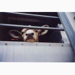 Аренда скотовоза, перевозка скота
