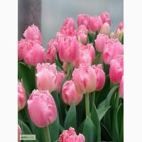 Луковицы тюльпанов, тюльпаны в Пасхе