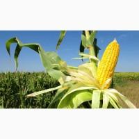Семена кукурузы РОСС 199 МВ
