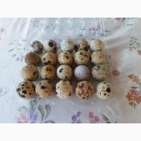 Продаю перепелиные яйца