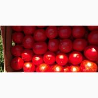 Помидоры (томаты ) оптом с поля