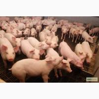 Поросят и свиней ОПТОМ от 50 голов