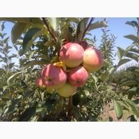 Продаём яблоки