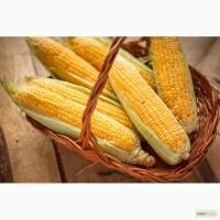 Семена гибридов кукурузы П7709, П8400, ПР37Н01, ПР39Д81, ПР39Ф58, ПР39Х32 от Pioneer
