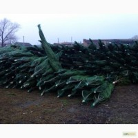 Новогодние сосны (елки ) оптом
