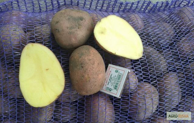 Продаем картофель посевной лабелла 1 репродукция