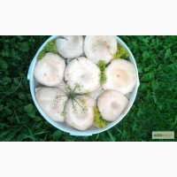 Грибы грузди боровые (белянка)солёно-отварные