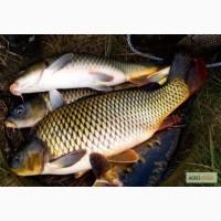 Рыба живая - карп, карась, щука и пр. Зарыбление