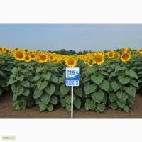 Семена подсолнечника под Экспресс / Гранстар (гибриды)