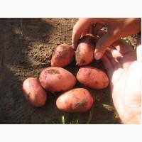 Семенной картофель Ред Скарлет первой репродукции