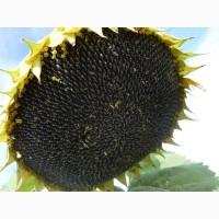 Санай МР Syngenta семена гибридов подсолнечника