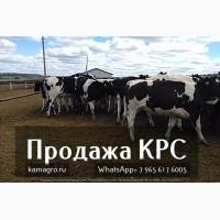 Племенные нетели молочных и мясных пород - Продаем крупно рогатый скот живым весом