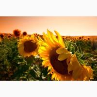 Семена подсолнечника на посевную 2021 (гибриды и сорта)