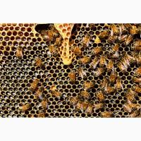 Продам пчелосемьи и пакеты Карпатской пароды, мед оптом