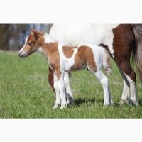 Пони-ферма: продажа жеребят 2021гр