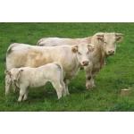 Покупаем бычков, телок на откорм от 50-300кг