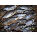 ООО '' «Рыболовная артель Белого озера» предлагает рыбу вяленую и свежемороженную